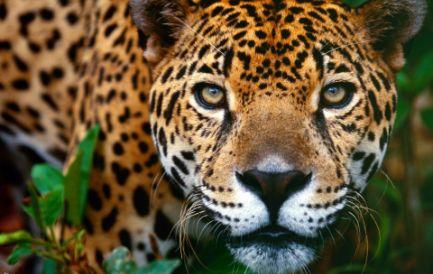 """MERCATO NERO DI FELINI. Effetti collaterali dell' """"invasione cinese"""" in America Latina: in Bolivia a rischio la sopravvivenza del giaguaro"""