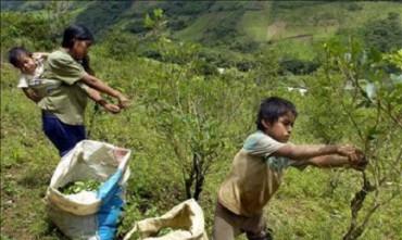 LA BOLIVIA AUMENTA L'ESTENSIONE DELLE PIANTAGIONI DI COCA. Passa la norma che porta da 12 mila ettari a 22 mila la coltivazione legale permessa