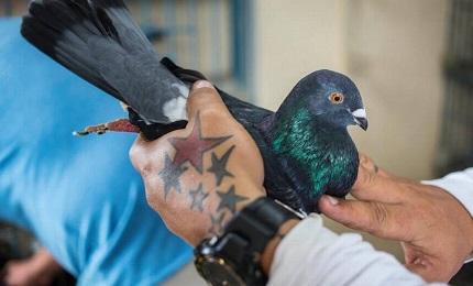 Un colombaio con una colomba del proprio allevamento (Desmond Boylan-AP)